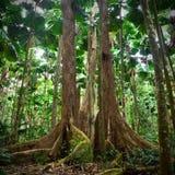 Gigantische Bäume im tropischen Gebläsepalmen-Regenwald Stockbild