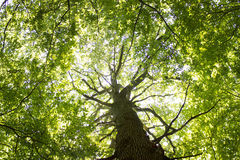 Gigantischer Buchen-Baum Lizenzfreies Stockbild
