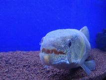 Gigantisk fisk arkivfoto