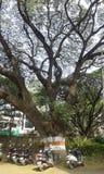 gigantiskt träd Arkivbild
