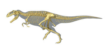 Gigantosaurus dinosaurus full photo-realistic skeleton, on body sihouette. Royalty Free Stock Photo