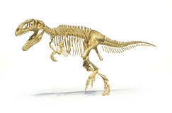 Gigantosaurus dinosaurus full photo-realistic skel Royalty Free Stock Photo