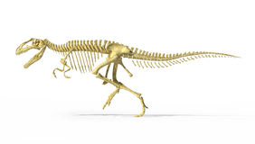 Gigantosaurus dinosaurus full photo-realistic skeleton, side view. stock illustration