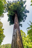 gigantyczną sekwoi drzewo Obrazy Royalty Free