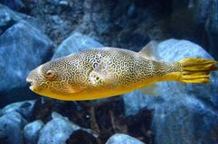 Gigantyczna świeżej wody Puffer ryba Obraz Royalty Free