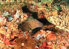 Gigantyczna estuarine murena fotografia stock