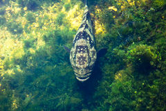 Gigantyczna grouper ryba Zdjęcie Royalty Free