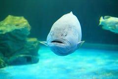 Gigantyczna grouper ryba w akwarium Zdjęcia Royalty Free