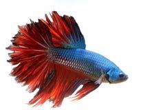 Gigantyczna halfmoon boju ryba Zdjęcie Royalty Free