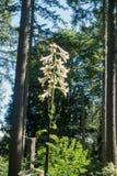 Gigantyczna Himalajska leluja Zdjęcie Royalty Free