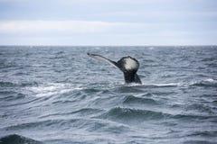 Gigantyczna Humpback wieloryba bajka w Iceland Zdjęcie Royalty Free