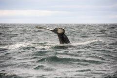 Gigantyczna Humpback wieloryba bajka w Iceland Fotografia Stock