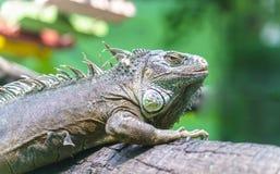 Gigantyczna iguana z swój wielkim ciałem Obrazy Royalty Free