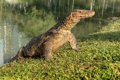 Gigantyczna jaszczurka (Tajlandia) Fotografia Stock