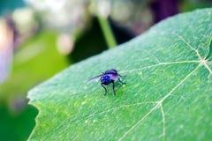 Gigantyczna komarnica na liście Obraz Royalty Free