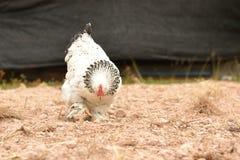 Gigantyczna kurczaka Brahma pozycja na ziemi w Rolnym terenie obraz royalty free