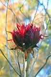Gigantyczna kwiat głowa Gymea leluja obraz stock