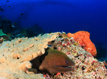 Gigantyczna murena, kasztel skała Komodo Obraz Stock