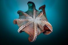 Gigantyczna ośmiornica w głębokim Obraz Royalty Free