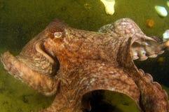 gigantyczna ośmiornica Pacific Obraz Royalty Free