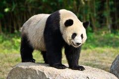 gigantyczna panda