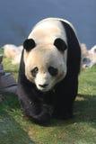 gigantyczna panda Zdjęcia Stock