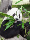 gigantyczna panda Zdjęcia Royalty Free