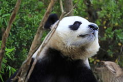 Gigantyczna panda 4 Obrazy Stock