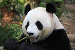 Gigantyczna panda 6 Obrazy Stock
