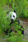 Gigantyczna panda obrazy royalty free
