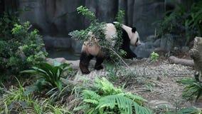 Gigantyczna panda biega wokoło woliery w Singapur ` s zoo zdjęcie wideo