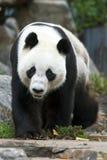 Gigantyczna panda bierze przespacerowanie w swój klauzurze przy Adelaide zoo w Południowym Australia w Australia zdjęcia royalty free