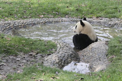 Gigantyczna panda bierze skąpanie w basenie zdjęcia stock