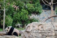 Gigantyczna panda i lisiątko zdjęcia royalty free