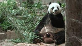Gigantyczna panda ma lunch Chiang Mai, Tajlandia zbiory