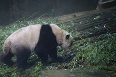 Gigantyczna panda należy jedyni ssaki carnivora niedźwiadkowa rodzina gigantycznej pandy podrodzina i gigantyczna panda, _ fotografia stock