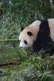 Gigantyczna panda należy jedyni ssaki carnivora niedźwiadkowa rodzina gigantycznej pandy podrodzina i gigantyczna panda, _ obrazy royalty free