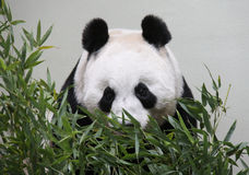 Gigantyczna panda patrzeje kamerę od behind bambusa Obraz Royalty Free