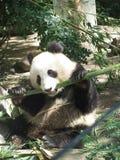 Gigantyczna panda przy San Diego zoo Fotografia Royalty Free