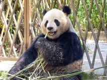 Gigantyczna panda przy Szanghaj dzikiego zwierzęcia parkiem Obraz Stock