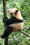 Gigantyczna panda w ochronie i badawczym centrum Yaan, Bifengxia baza, porcelana fotografia stock