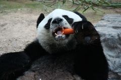 Gigantyczna panda w Tajlandia obrazy stock