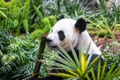 Gigantyczna panda w zoo środowisku fotografia stock