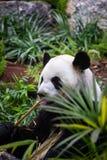 Gigantyczna panda w zoo środowisku zdjęcie royalty free
