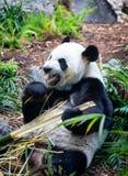 Gigantyczna panda w zoo środowisku obraz royalty free