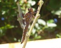 GIGANTYCZNA smok komarnicy łasowania osa NA ŚLIWKOWYM drzewie Obraz Royalty Free