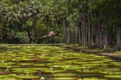 Gigantyczna wodna leluja w Pamplemousse ogródzie botanicznym Wyspa Mauritius fotografia stock