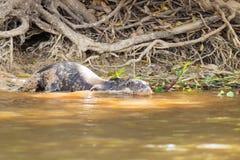 Gigantyczna wydra od Pantanal, Brazylia zdjęcia royalty free