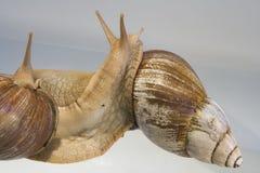 gigantyczne afrykańskich ślimaków lądowych Obrazy Stock