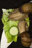 gigantyczne afrykańskich ślimaków lądowych Zdjęcia Stock